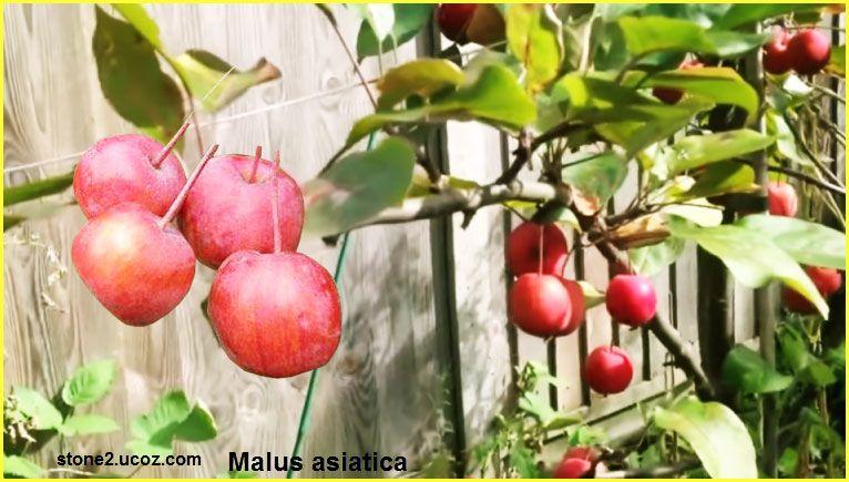 فاكهة التفاح الاسيوي Malus Asiatica قسم الفواكه النبات معلومات نباتية وسمكية معلوماتية Apple Fruit Malus