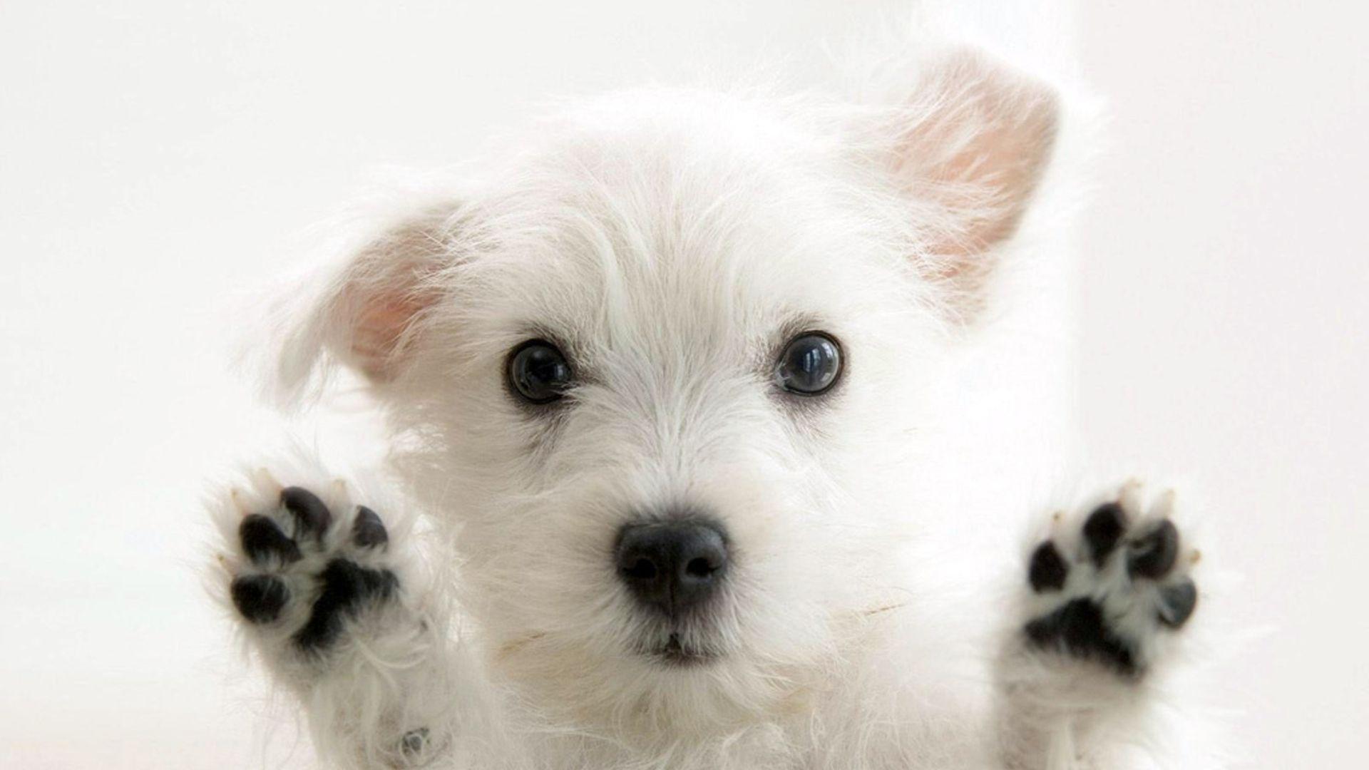 Pupee West Highland White Terrier Puppy X Animal 1920x1080 Hd Wallpaper Poupeegirl France Son Michel Polnare Cute White Dogs Very Cute Dogs Westie Puppies