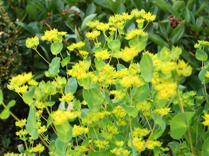 Bupleurum Griffithii Google Search Plants Plant List Flowers