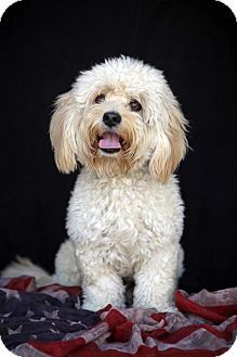 Dandie Dinmont Terrier Poodle Miniature Mix Dog For Adoption In