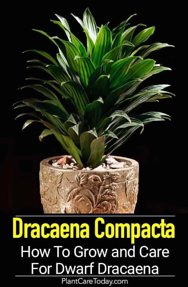 Dracaena compacta care tips on growing dwarf craig