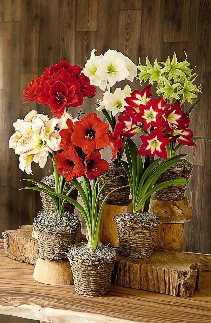 Amaryllis plants... when I was younger whenever I saw an