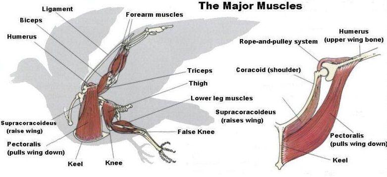bird flight diagram bird flight muscles  side   with images  muscle anatomy  muscle  muscle anatomy