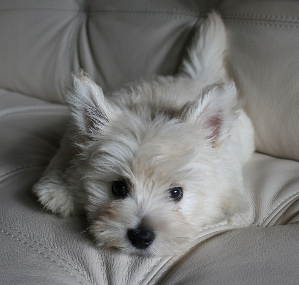 Only allowed on the sofa for pictures! Westie puppies