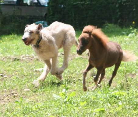 Wolf Hound Playing With Mini Horse