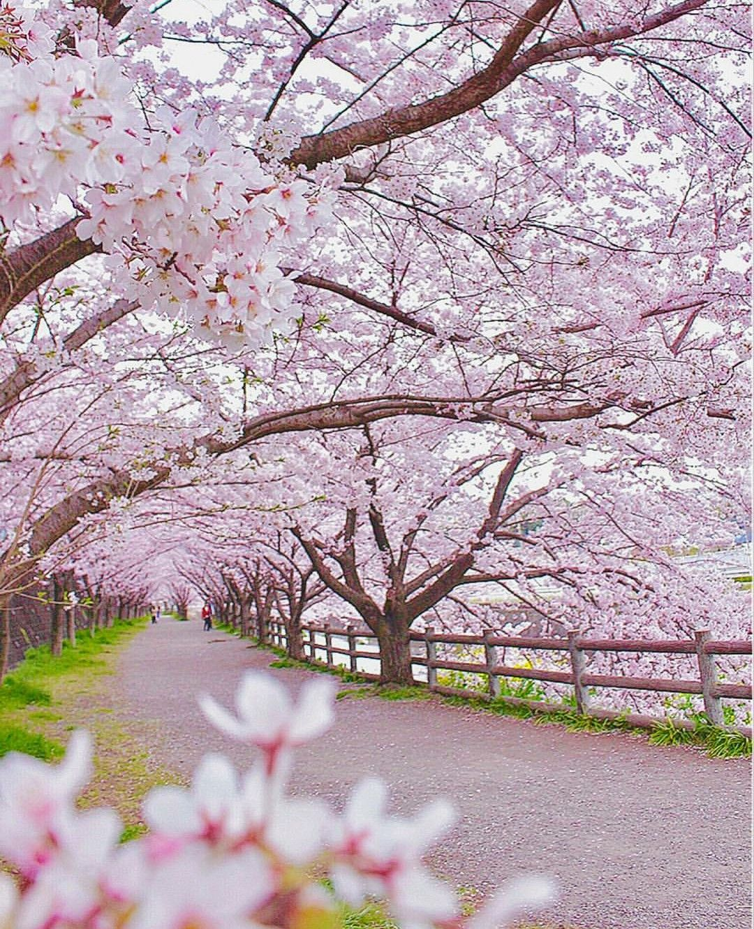 The Pink Road Sakura Beautiful nature, Beautiful