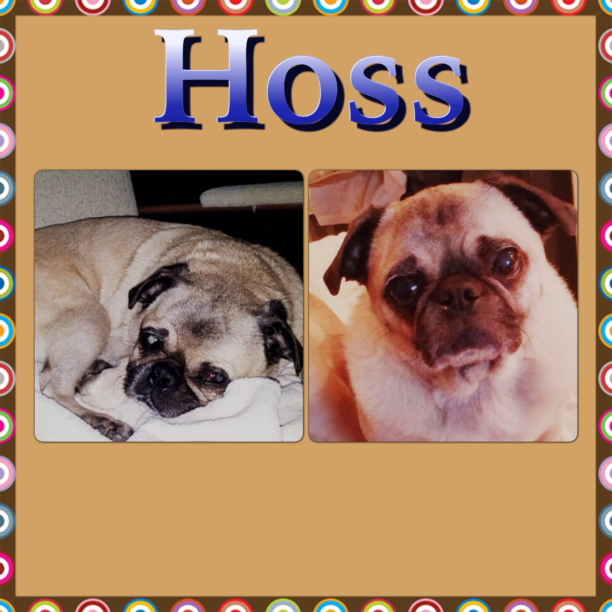 Hi Pug Fans My Name Is Hoss And I Have Begun The Process Of