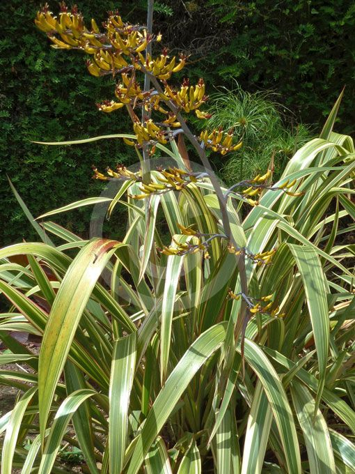 Phormium Cookianum Sbsp Hookeri Tricolor In Flower This New Zealand Flax Is Laxer In Habit Than Its Cousin Phormiu Plant Leaves New Zealand Flax Perennials