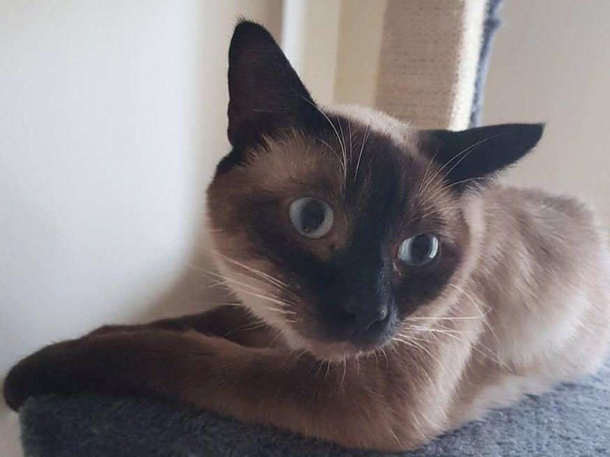 65 Cute Siamese Cat Names Cat Names Siamese Cats Cat Ages