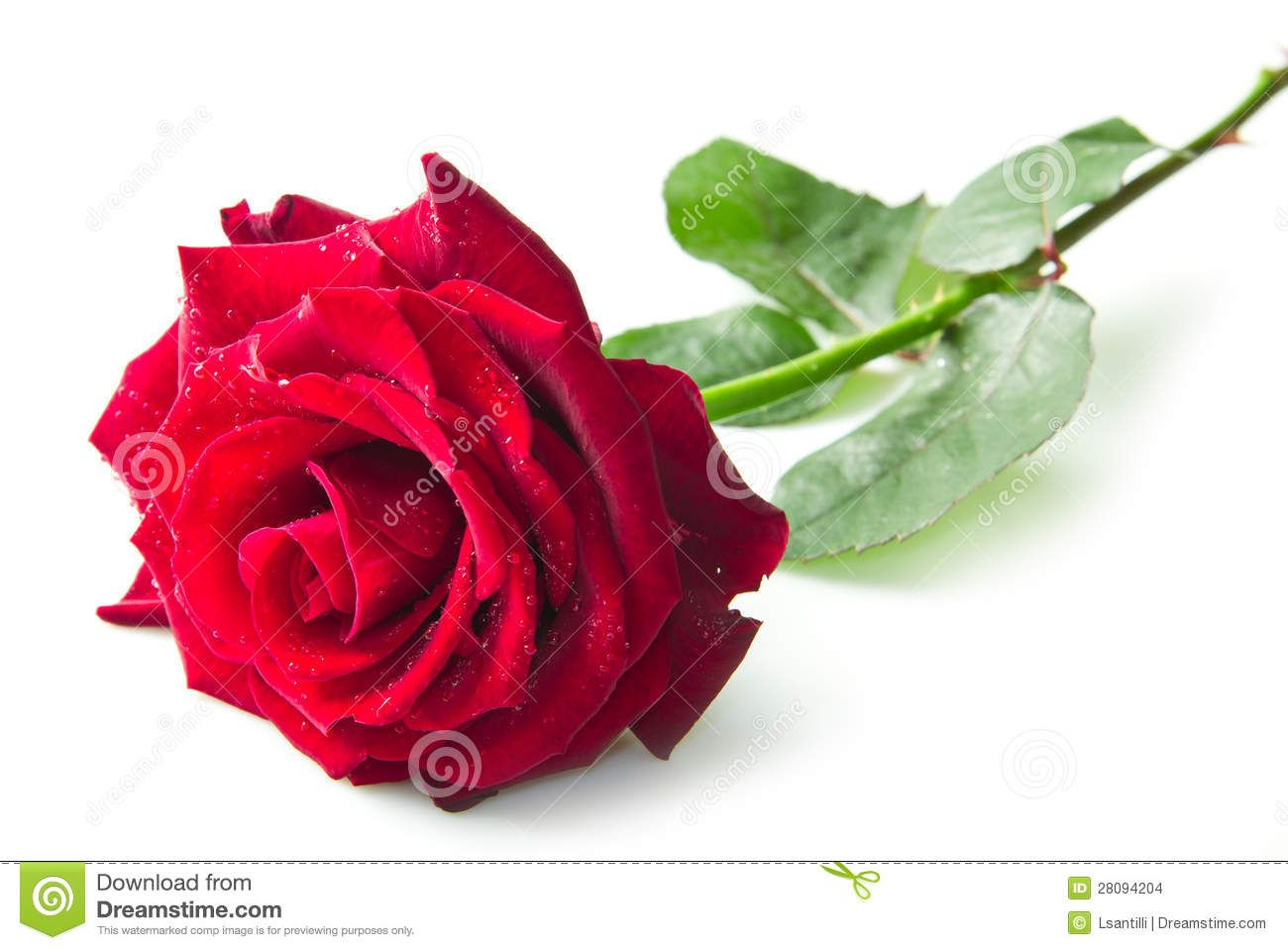 Single Red Rose Flower Stock Images: Single Red Rose Flower Stock Images
