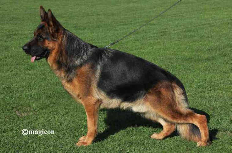 German Shepherd Dog Pregnant Female For Sale German Shepherd Dogs German Shepherd Shepherd Dog