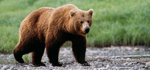 Image result for full body bear nature | Bicho de estimação, Estimação,  Animais