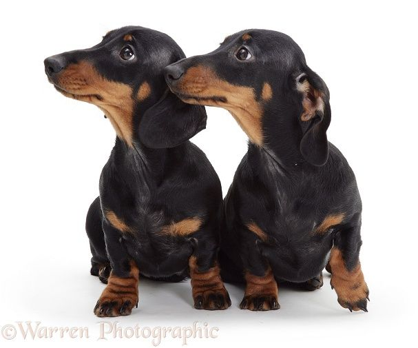 Dachshund Dogs And Puppies For Sale In The Uk Pets4homes 15 Awesome Dachshund Mixes You Won T Believe Are Real Gol In 2020 Dog Breeds Dachshund Dog Dachshund Puppies