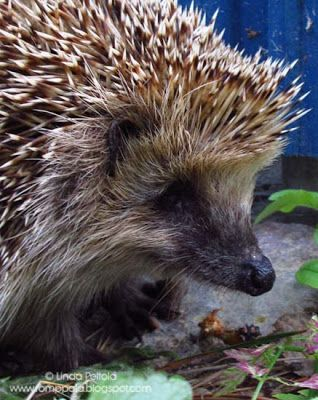 How To Get A Hedgehog Out Of My Garden