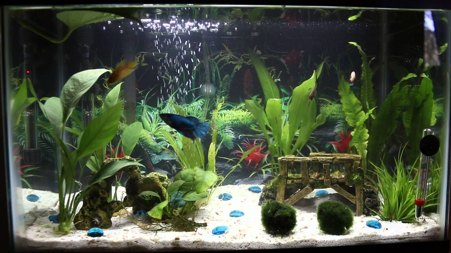 10 Gallon Betta Sorority Tank Betta Fish Betta Aquarium Fish Tank