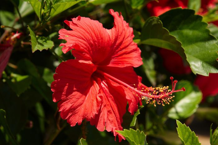 The Hibiscus Flower Is Traditionally Worn By Hawaiian Women Hibiscus Flower Meaning Hibiscus Flower Tea Flower Meanings