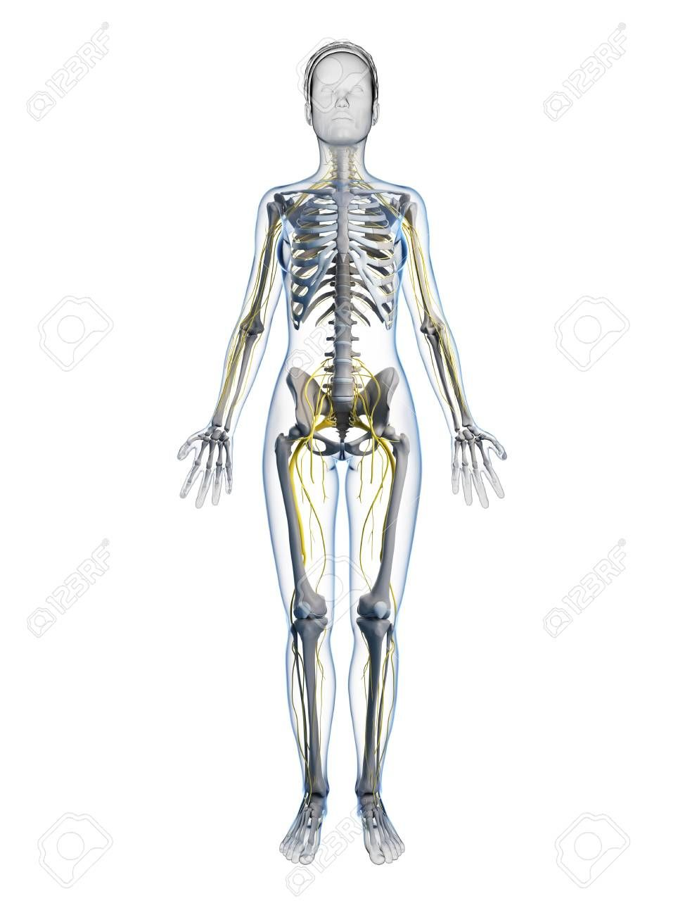 Female Anatomy Pictures Images Photos Human Body Anatomy