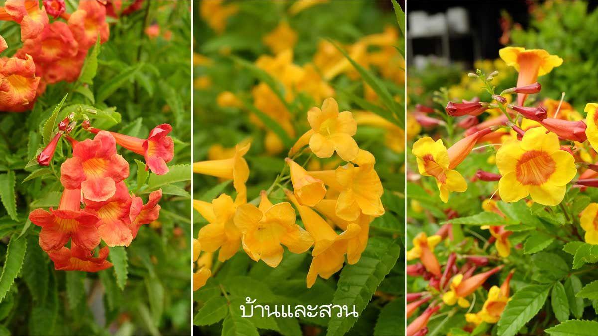 ทองอ ไร ไม พ มดอกส เหล องส สดสวย ออกดอกท งป น ยมปล กร มร ว บ านและสวน
