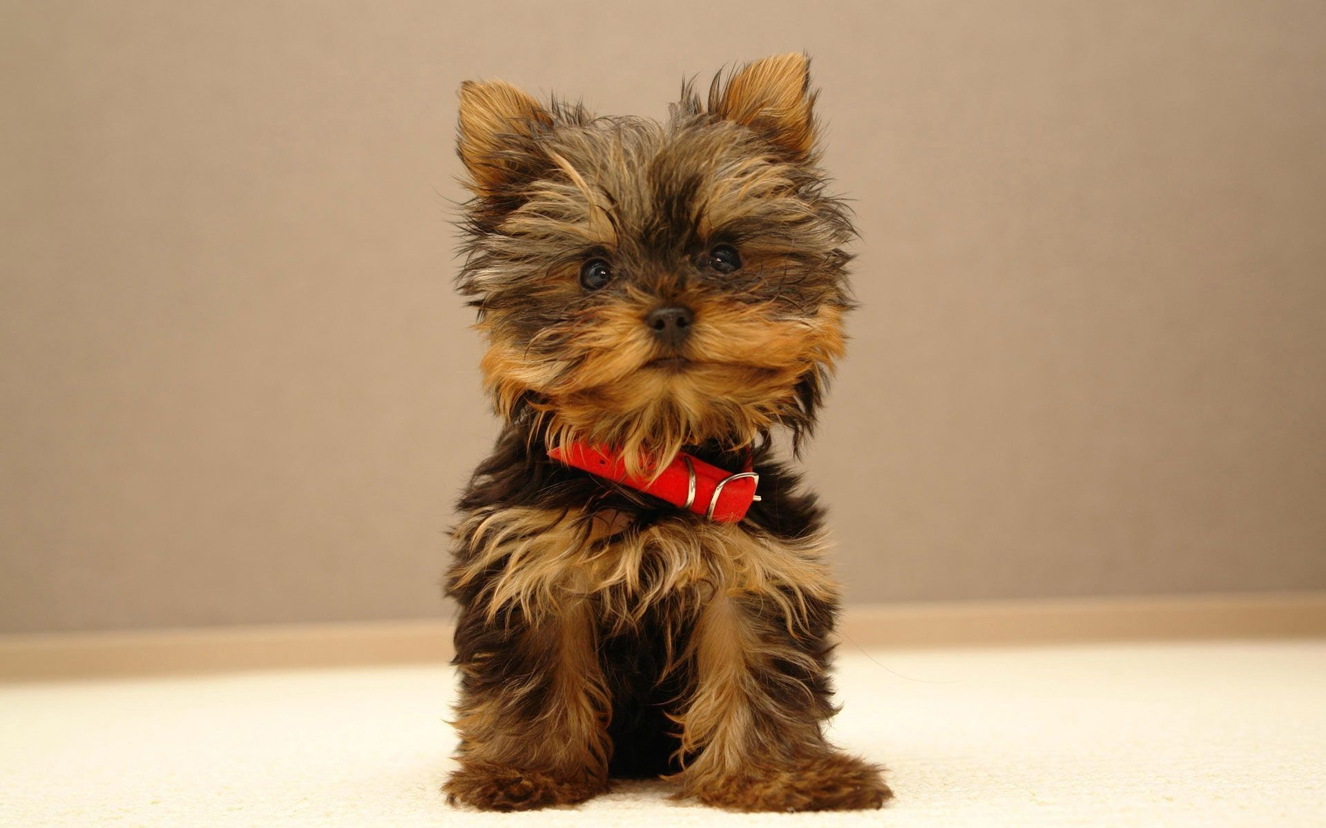 92 Baby Monkey Wallpaper Background Photos Hd Images Yorkie Puppy Yorkie Puppy Training Yorkshire Terrier Dog