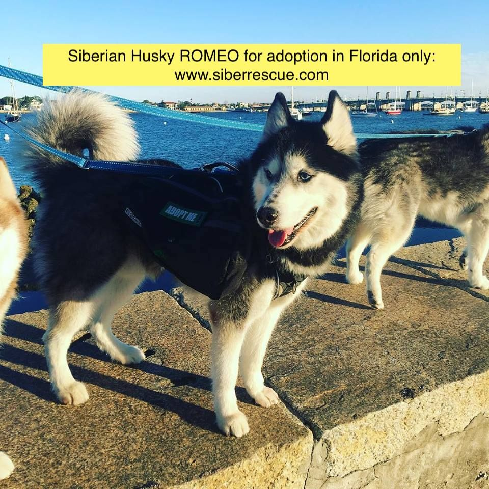 Florida Siberian Husky Romeo For Adoption In Fl Only Http