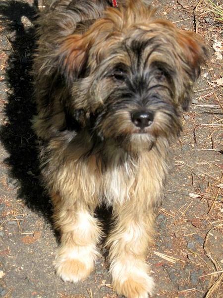 Ripley The Tibetan Terrier Tibetan Terrier Terrier Cute Dogs