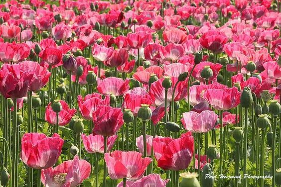 Poppies in Holland...: