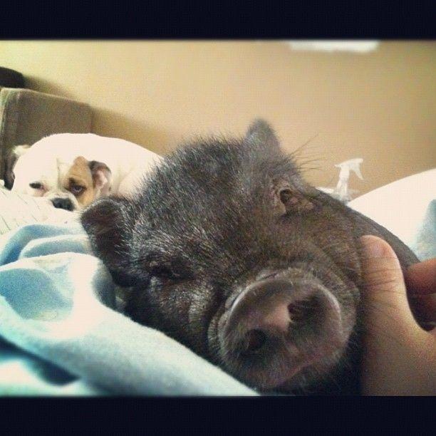 Pigstagrams