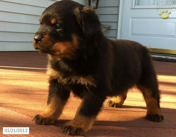 European Champion Rottweiler Puppy For Sale In Gordonville Pa