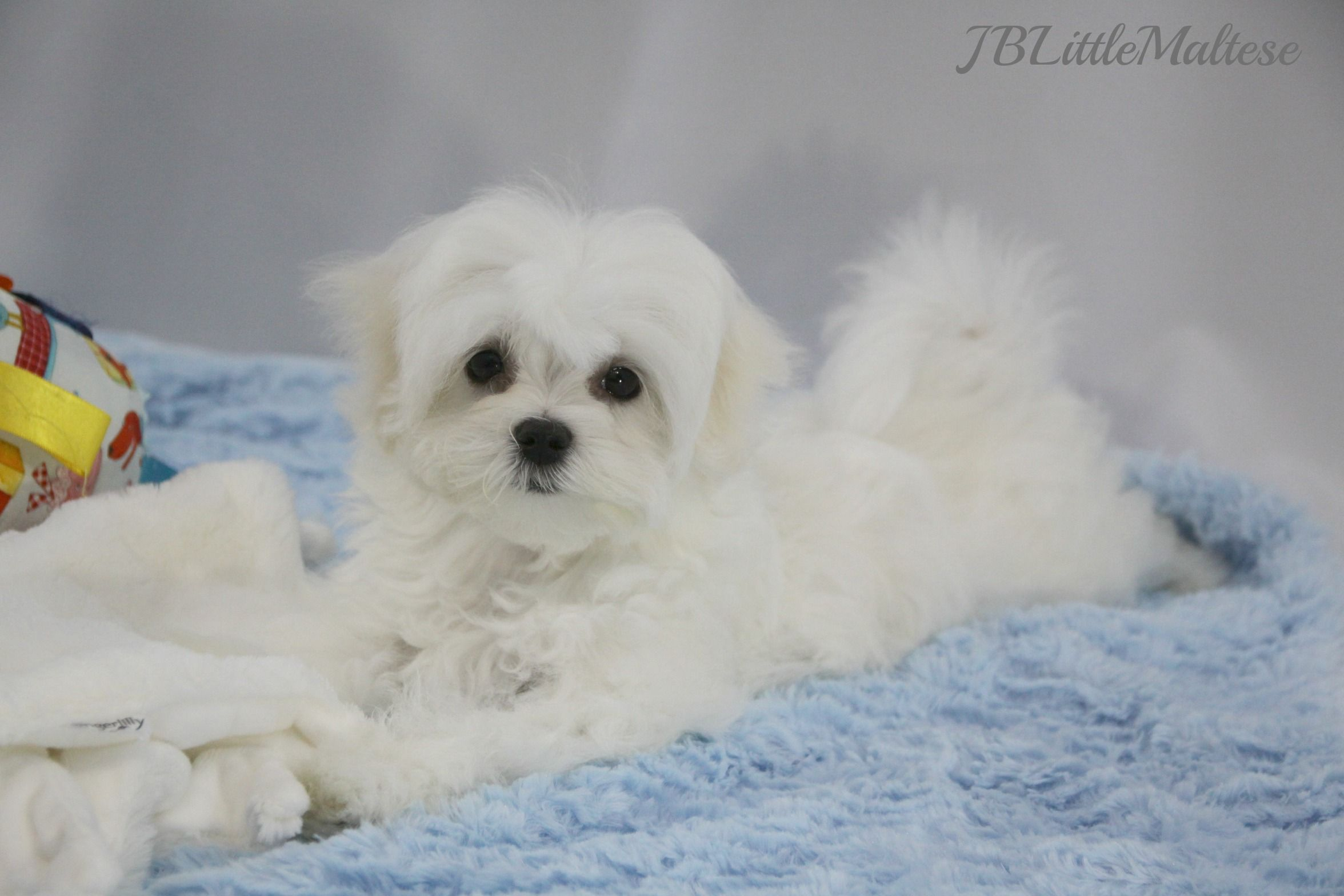 Top Breeders Of Canadian Purebred Registered Maltese Puppies