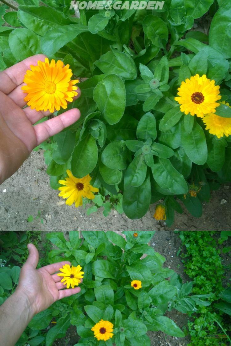 How To Grow Calendula Garden Plants Herbs 400 x 300