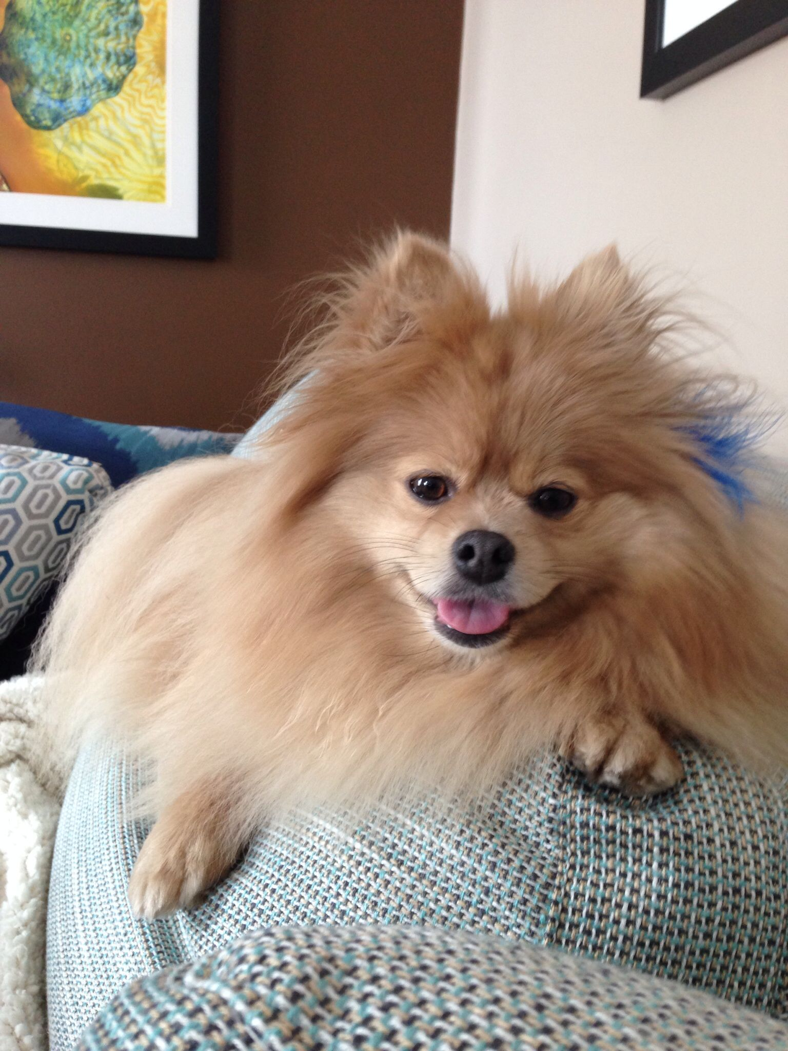 Leo Adorable Pomeranian Dogs Rule Pinterest Pomeranians - Someone should have told this dog owner that pomeranians melt in water