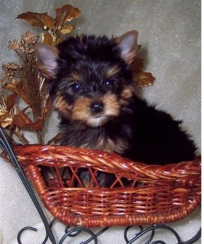 Teacup Yorkie Puppy For Sale In London Pet Dogs Puppies Yorkie Puppy Terrier Dogs