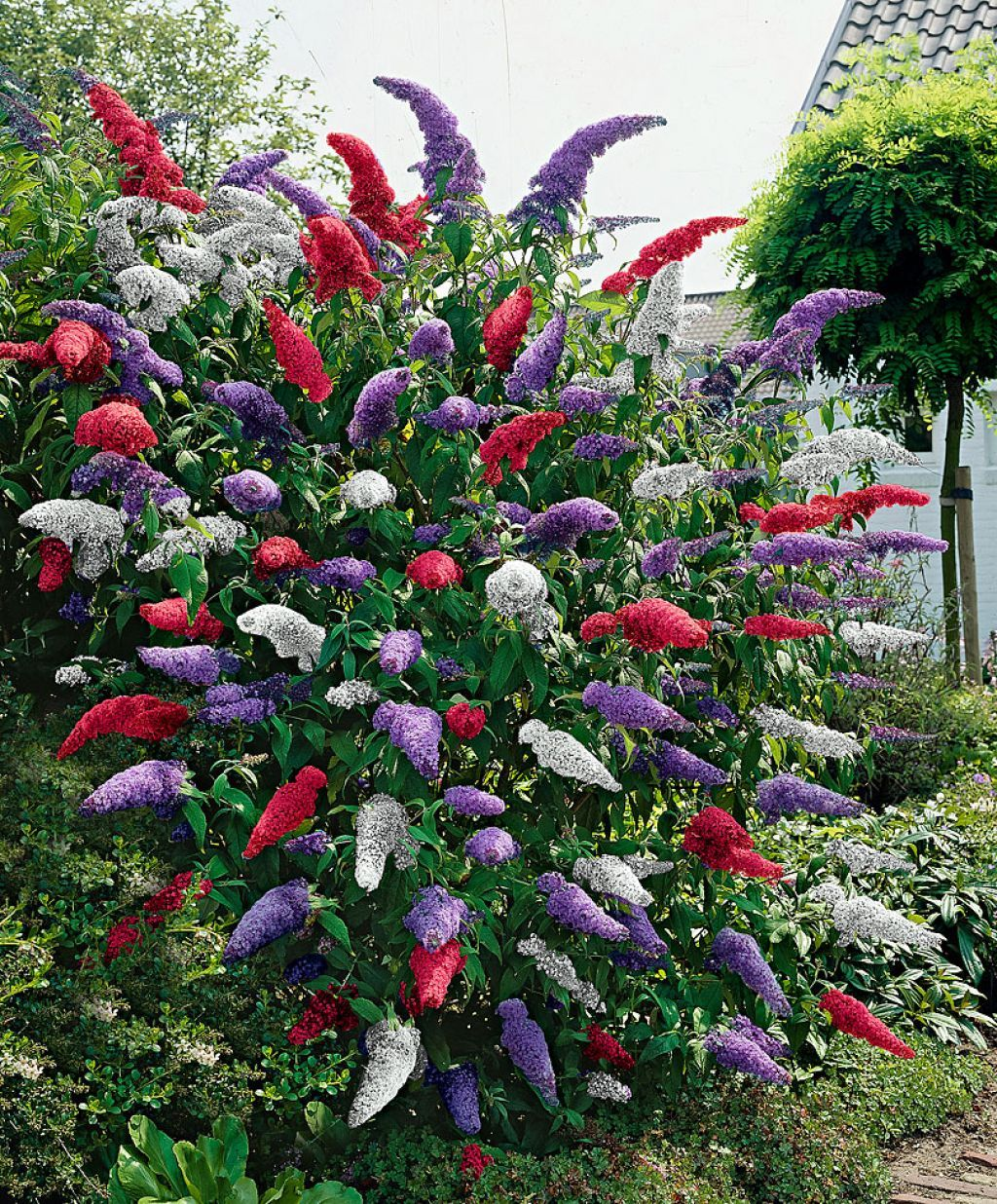 Colorful Flowering Large Garden Shrubs Choosing The Best