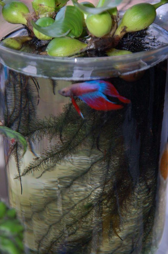 Estanque urbano con 3 variedades de plantas acu ticas y un for Pond fish plants