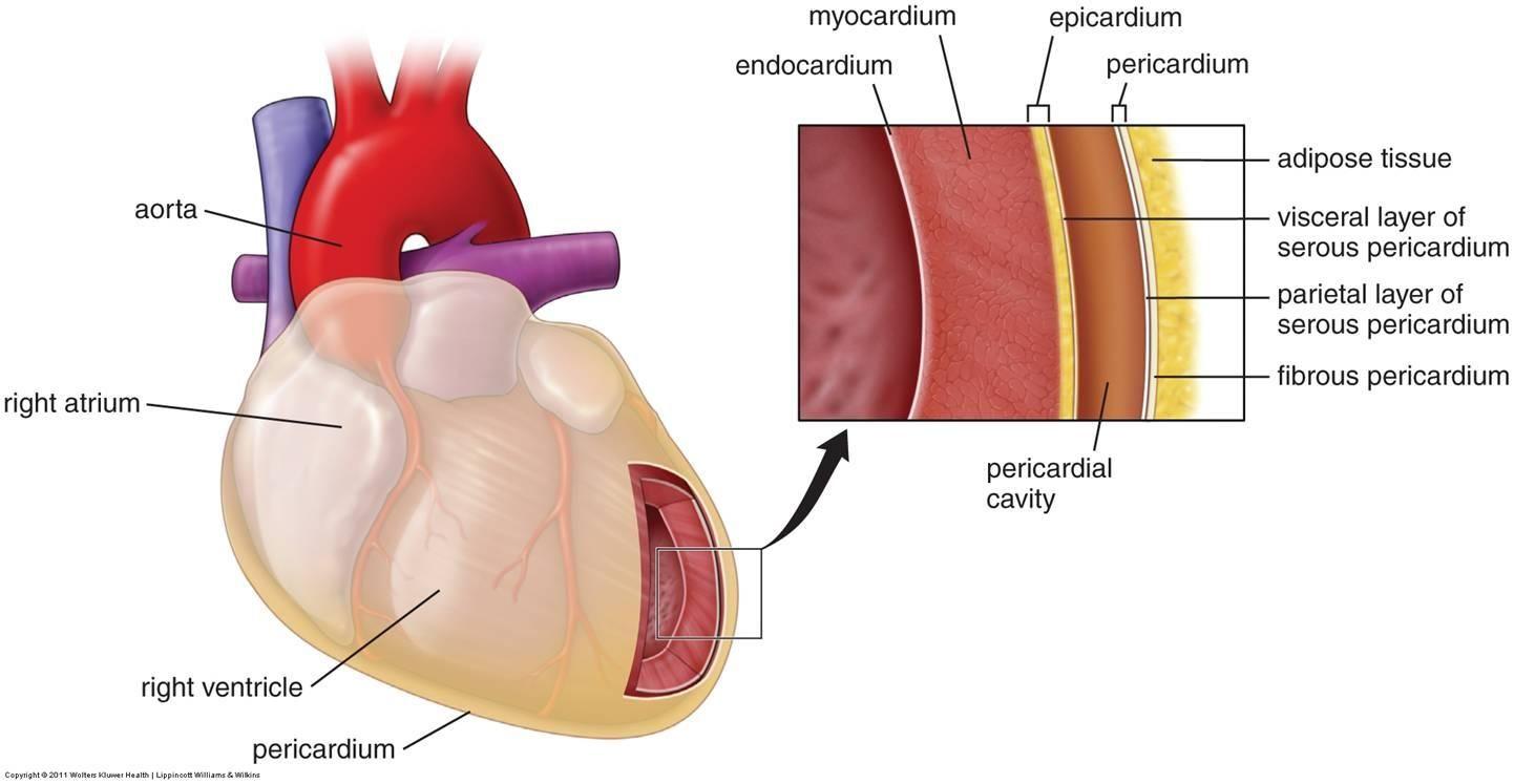 Heart diagram pericardium endocardium search for wiring diagrams pericardium epicardium myocardium endocardium google search rh pinterest com endocardium tissue parietal layer of serous pericardium ccuart Choice Image