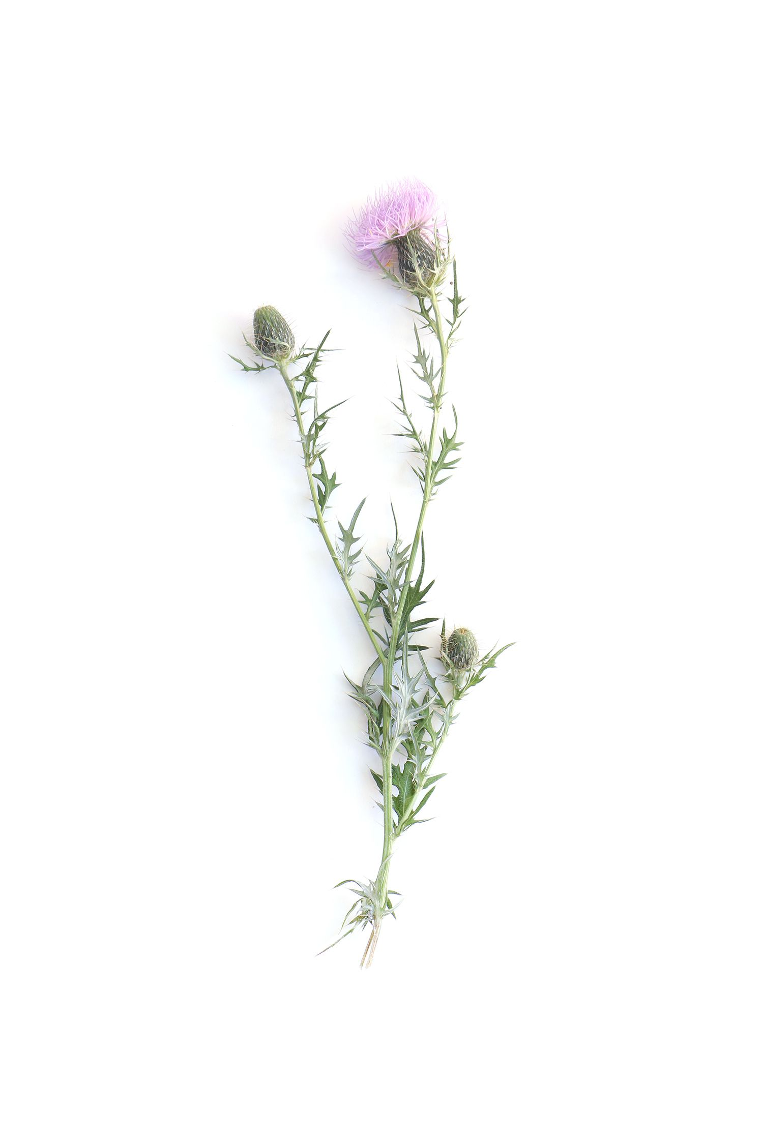 common thistle still mary jo hoffman still on white pinterest thistles tattoo and. Black Bedroom Furniture Sets. Home Design Ideas
