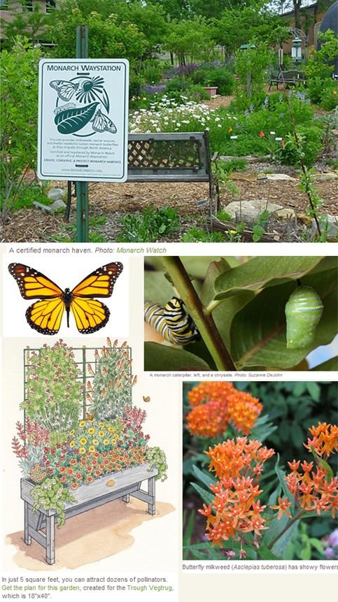 How to Attract Monarch Butterflies Gardener's Supply is part of Butterfly garden Milkweed - Gardener's Supply  Monarchs are in trouble because of the elimination of milkweed that used to grow in farm fields  Grow a patch of milkweed in your backyard, which will provide food for monarch caterpillars