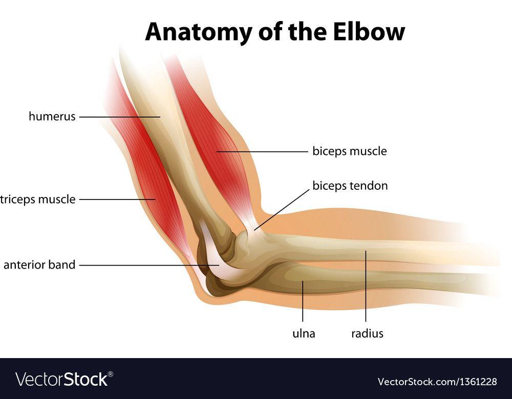 elbow anatomy nerves Anatomy human elbow vector image | Human ...