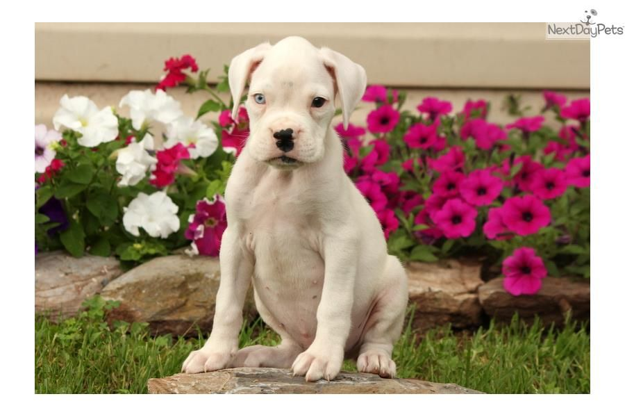 Meet toby a cute boxer puppy for sale for 650 toby