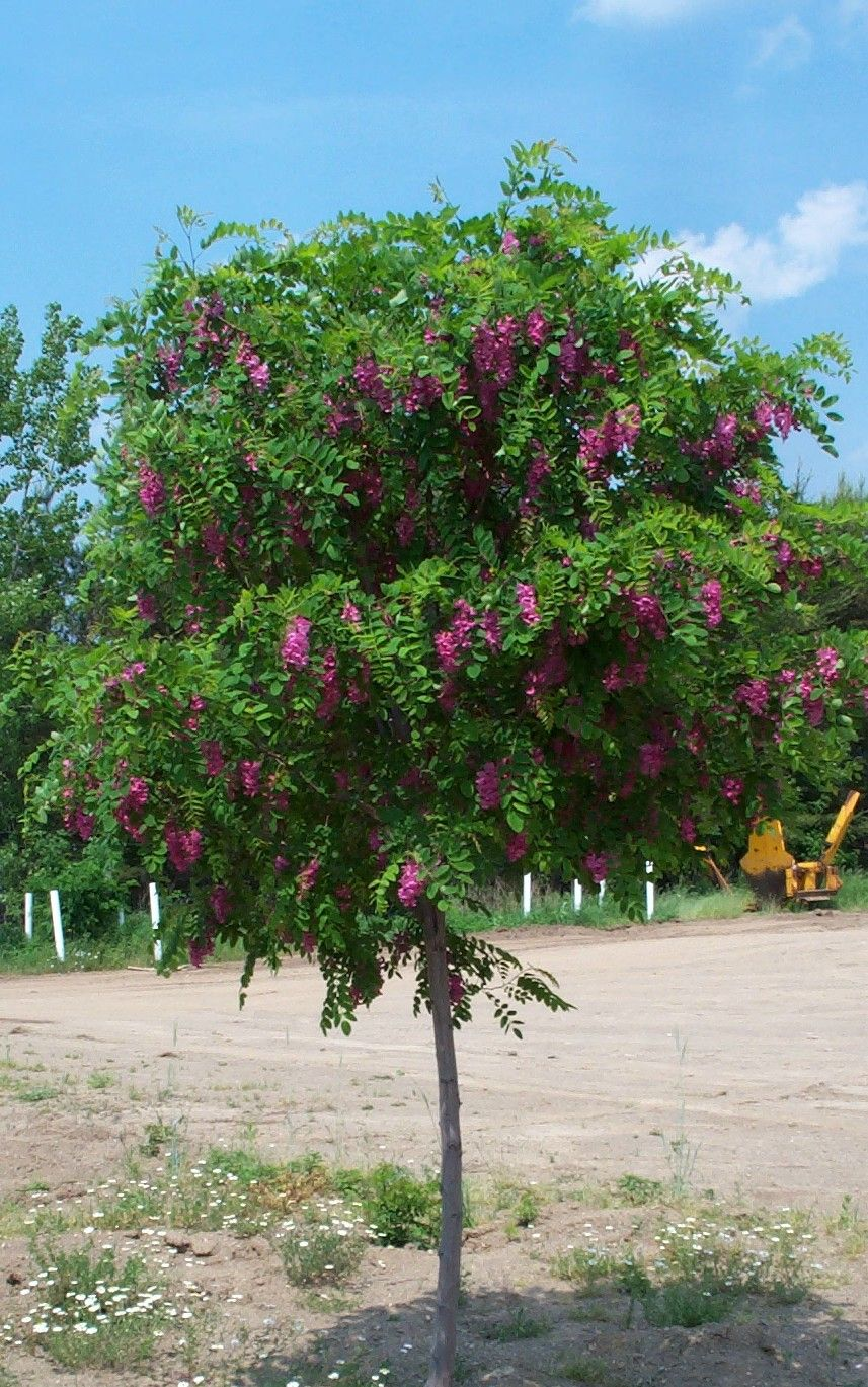 Purple Robe Locust Tree Yahoo Image Search Results Terrace Garden Beds Trees