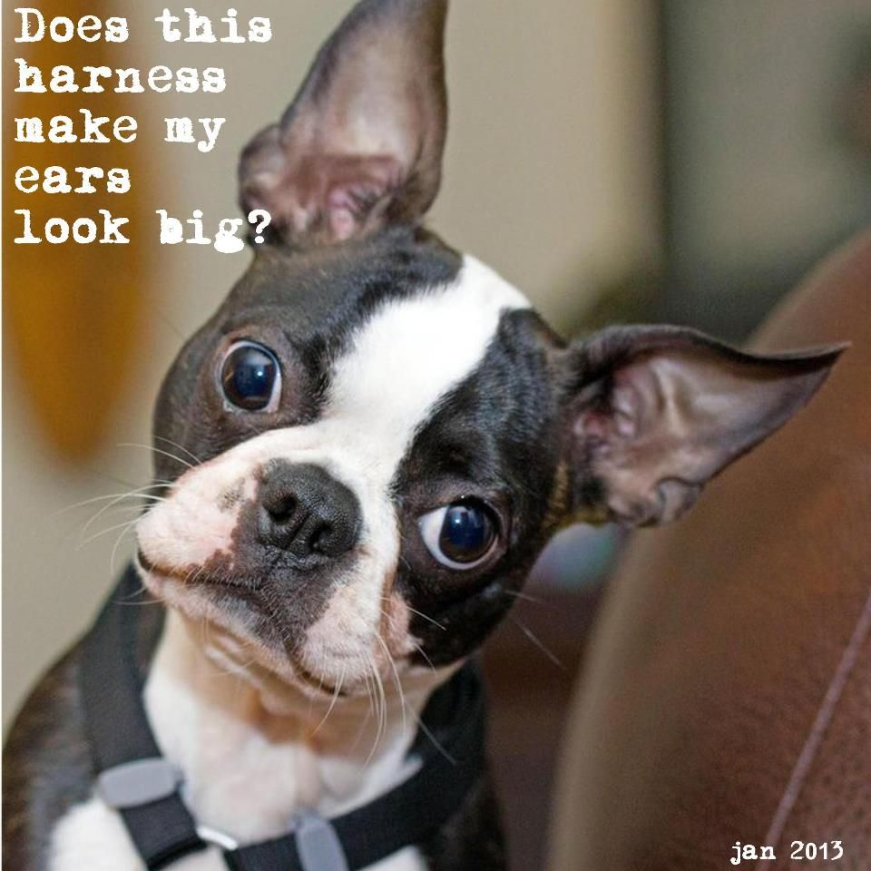 funny Boston Terrier!