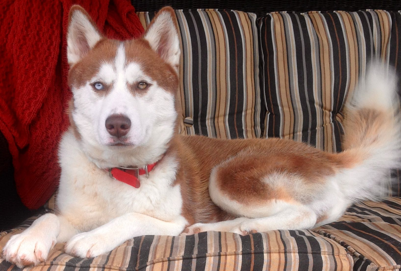 This Red And White Siberian Husky Has Been Found In Tuscaloosa
