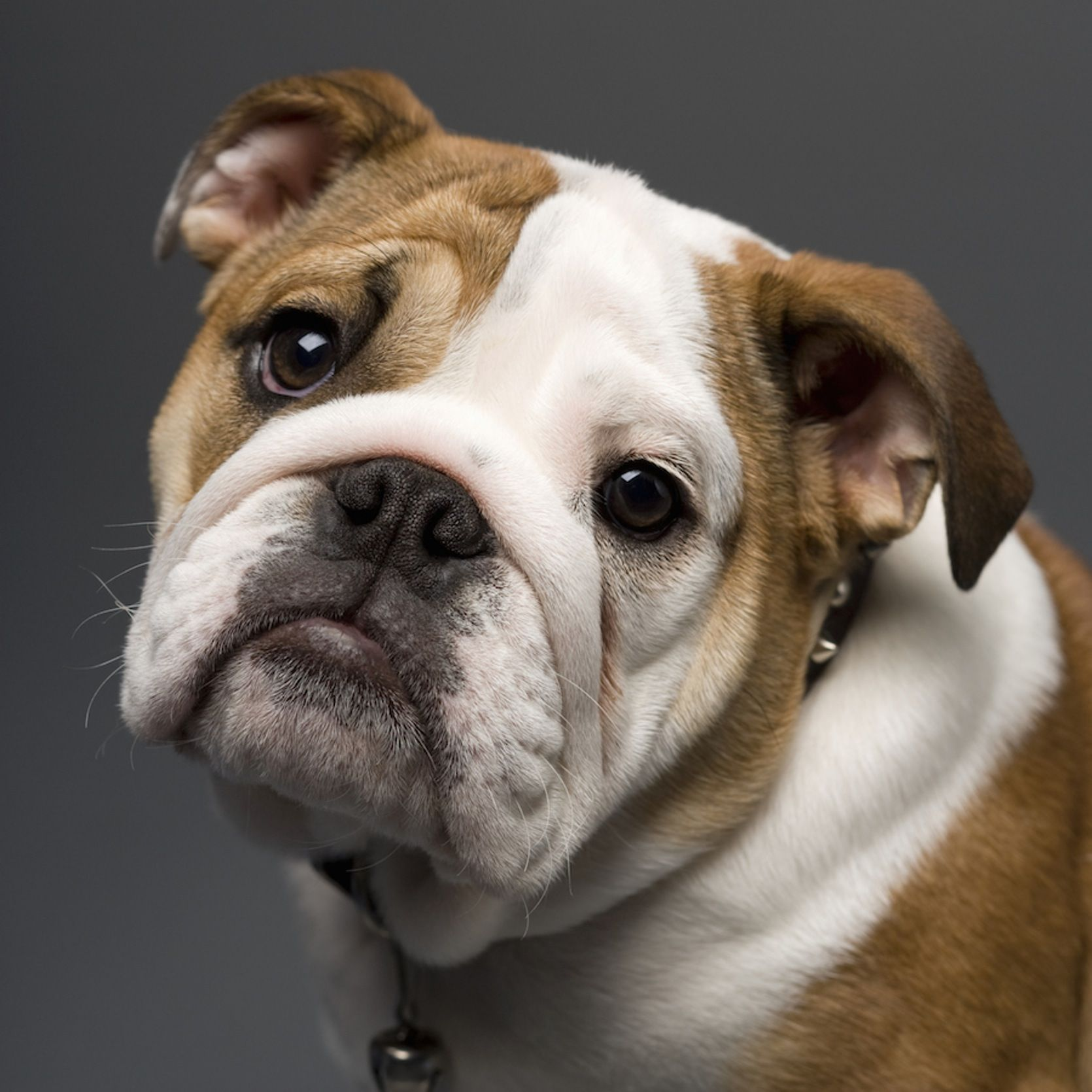 English Bulldogs Shallow Gene Pool Has Them In Deep Trouble