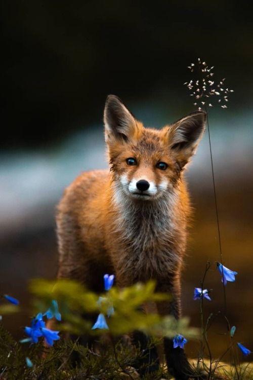 Red fox. #cutefox