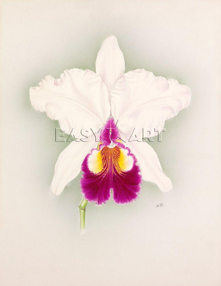 Cattleya x hardyana Alba Pitts variety - by Nellie Roberts   All ...