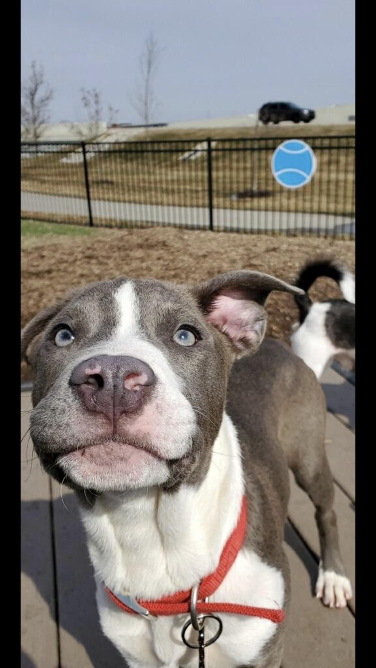 Lovely Day For A Happy Dog Pitbulls Pitbullpuppies