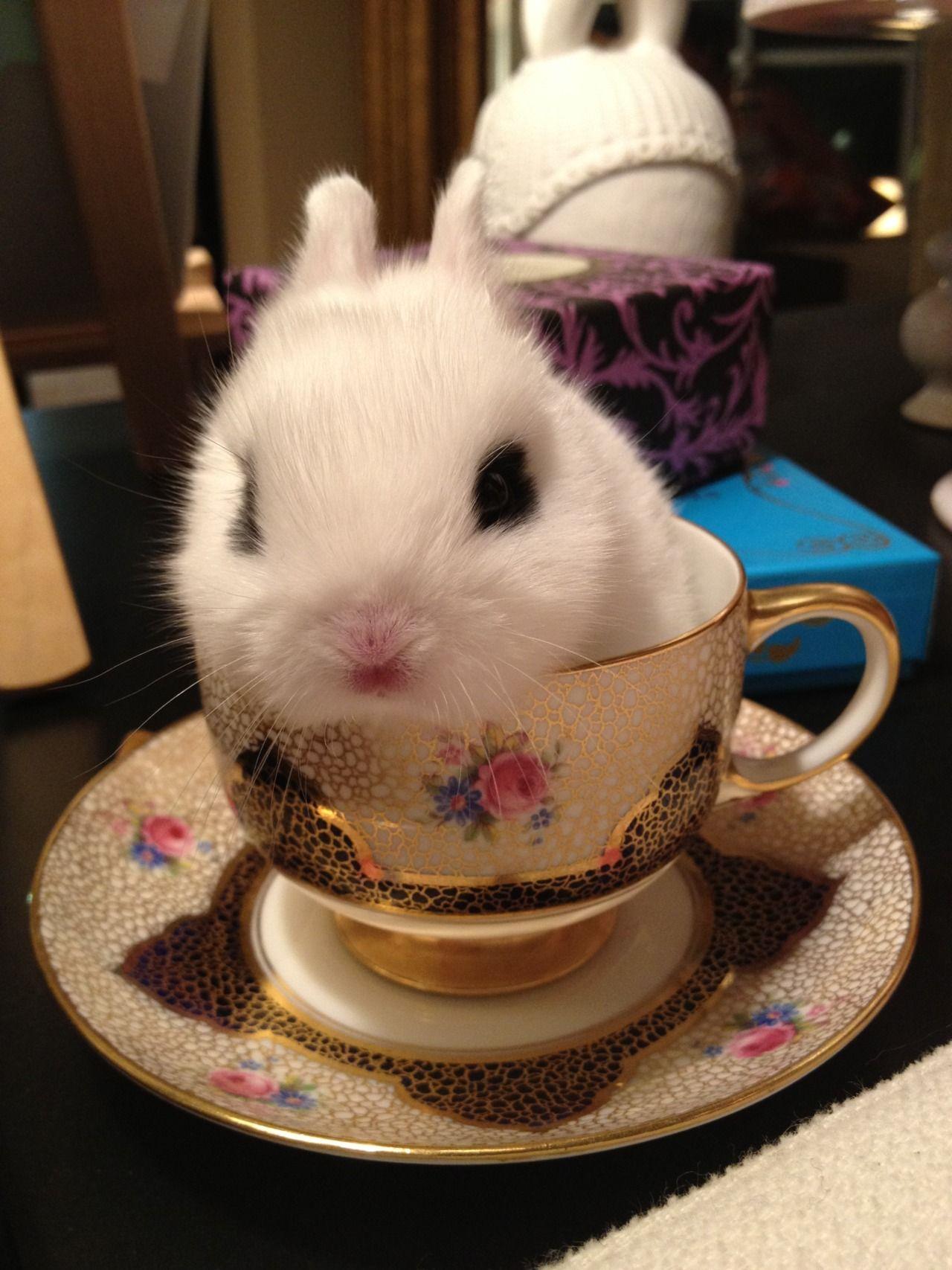 Bunny In A Teacup On Pinterest Teacups Bunnies And Baby