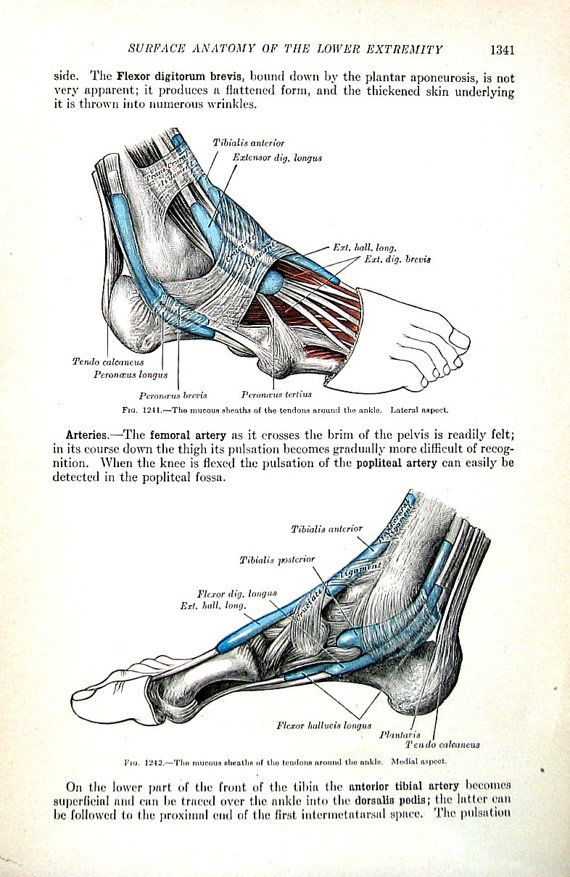 The Human Foot Tendons Around The Ankles By Mysunshinevintage