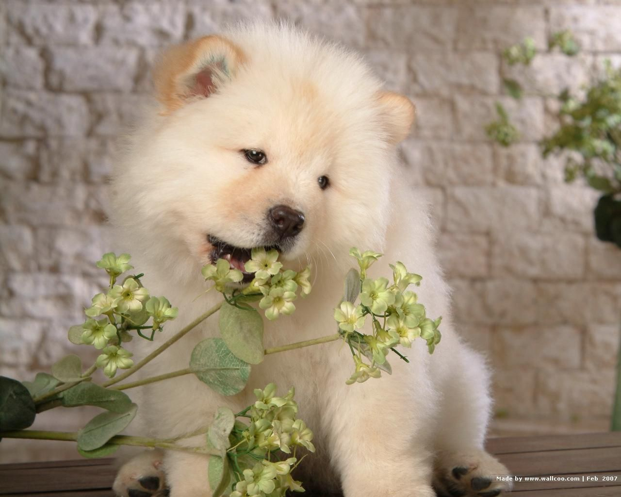 Chow Chow Puppy Wallpaper Chow Chow Puppy Chow Chow Dogs Animals