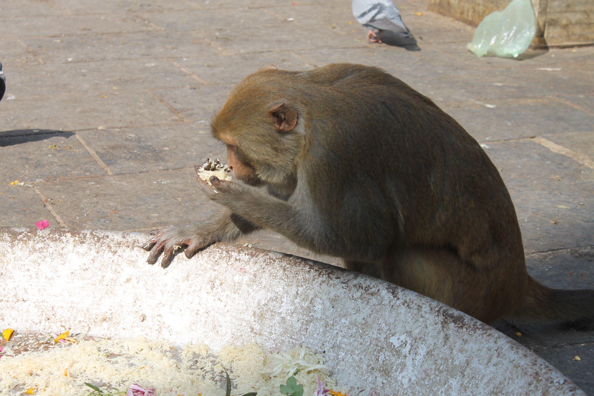 Mono comiendose una ofrenda en Swayanbhu Nath